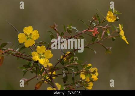 Peruvian primrose-willow, Ludwigia peruviana, in flower on margin of lake, Florida. Introduced from South America. - Stock Photo