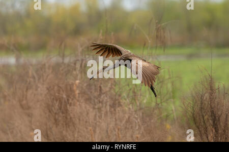 Limpkin, Aramus guarauna in flight, at Sweetwater wetland, Florida - Stock Photo