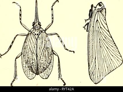 Economic entomology for the farmer Economic entomology for the farmer and fruit-grower [microform] : and for use as a text-book in agricultural schools and colleges . economicentomolo00insmit Year: 1896  146 AN ECONOMIC ENTOMOLOGY.    a b FulgoridcE, or lantern-flies.—a, Scolops sulcipes; d, Pceciloptera truncaticornis ; twice natural size. The FulgoridcE, or '' lantern-flies,'' contain some very remark- able and striking species in tropical countries, but are sparsely represented by somewhat rare Fig. 106. species in our fauna. Perhaps the most common of our forms are species of Ormenis, pale - Stock Photo