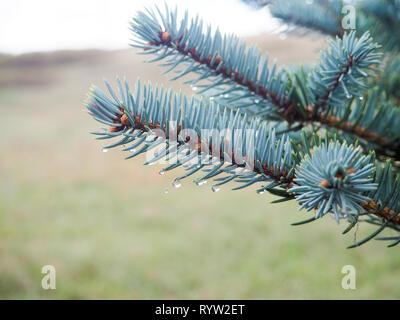 Fir tree brunch close up. Shallow focus. Fluffy fir tree brunch close up. Christmas wallpaper concept. Copy space. drops after rain - Stock Photo