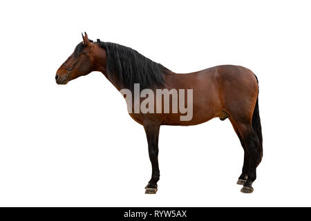 The bay horse isolated on white - Stock Photo
