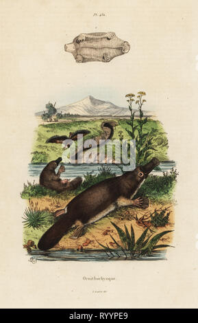 Duck-billed platypus, Ornithorhynchus anatinus. Handcoloured steel engraving after an illustration by Adolph Fries from Felix-Edouard Guerin-Meneville's Dictionnaire Pittoresque d'Histoire Naturelle (Picturesque Dictionary of Natural History), Paris, 1834-39. - Stock Photo