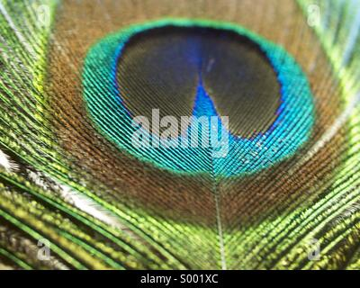 Peacock feather - Stock Photo