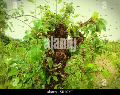 Honey Bee Swarm (Apis Mellifera) - Stock Photo