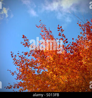 Fiery autumnal leaves on tree against a bright blue sky - Stock Photo