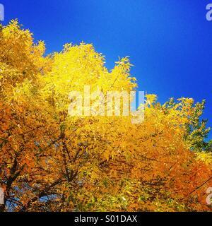 Brilliant autumn leaves against blue sky - Stock Photo