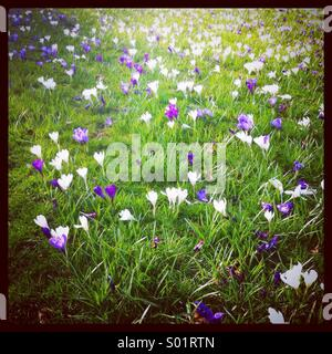 Purple and white crocuses growing in a grassy meadow in Essex, UK - Stock Photo