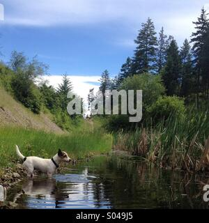 Ten-month-old Jack Russell Terrier puppy standing inside a pond on a sunny summer day. She just finished swimming - Stock Photo