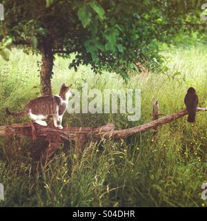 Cat stalking a crow sitting on an old plow in field - Stock Photo