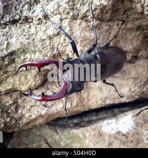 European Stag Beetle (Lucanus cervus), male on stone, La Creuse, Limousin, France - Stock Photo