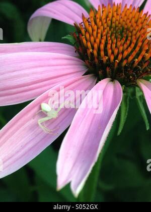 White spider on cone flower. - Stock Photo