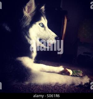 Lucy the adopted Siberian Husky - Stock Photo