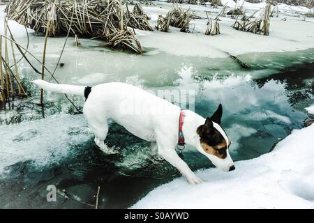 Snow, water and ice. Dog walking on frozen pond that has started to thaw. Her back paws partially immersed in water. - Stock Photo