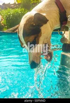 Quenching her thirst in the summer heat. Dog trying to catch the moving water from a garden hose next to a swimming - Stock Photo
