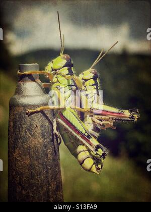 Mating pair of grasshoppers - Stock Photo