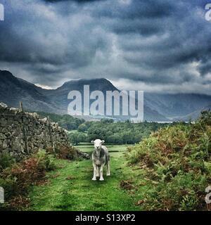 A Herdwick sheep in Cumbria, Lake District - Stock Photo