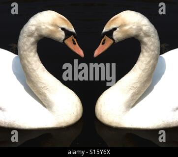 Two swans forming a heart shape - Stock Photo