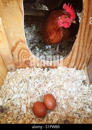 Two brown eggs in a nest box with Rhode Island Red chicken looking in. - Stock Photo