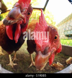 Closeup of two Rhode Island Red chicken faces checking out the photographer - Stock Photo