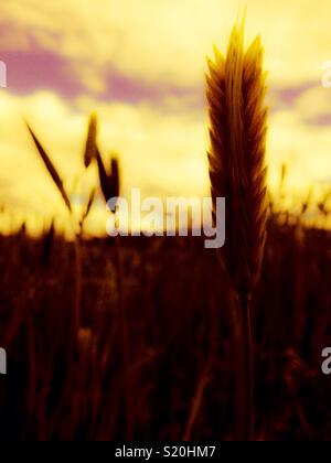 Barley grain head with golden glow in North Carolina field - Stock Photo