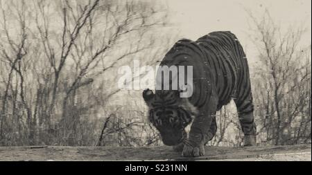 Reflection of an endangered Bengal tiger drinking at a watering hole in India - Stock Photo