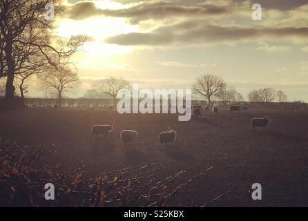 Sheep in a field in early morning - Stock Photo