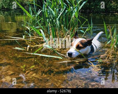 Dog swimming amongst reeds in a small lake on a sunny day. - Stock Photo