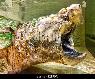 Alligator snapping turtle with wide open mouth and pointy beak - Stock Photo