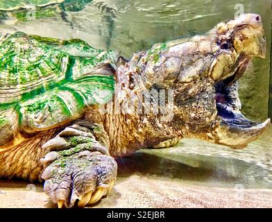 Alligator snapping turtle with wide open mouth and pointy beak, algae-covered shell and foot with large claws - Stock Photo