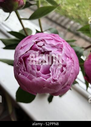 Pink peony up close - Stock Photo