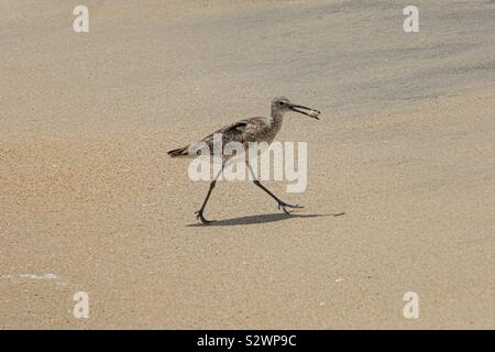 Bird on the beach taking food (crab) away from the breaking waves to devour it - Stock Photo