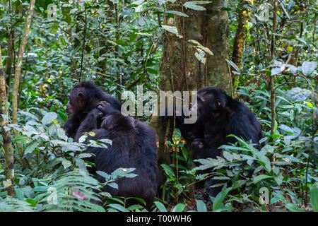 Common chimpanzees (Pan troglodytes) grooming in Kibale Forest National Park, South West Uganda, East Africa - Stock Photo