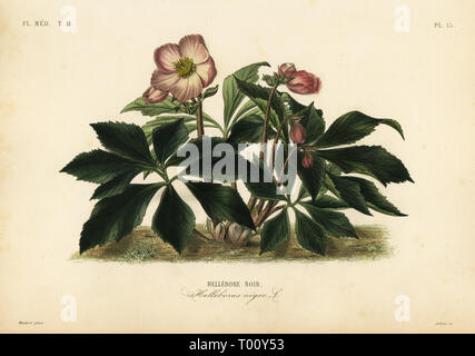 Christmas rose or black hellebore, Helleborus niger, Hellebore noir. Handcoloured steel engraving by Lebrun after a botanical illustration by Edouard Maubert from Pierre Oscar Reveil, A. Dupuis, Fr. Gerard and Francois Herincq's La Regne Vegetal: Flore Medicale, L. Guerin, Paris, 1864-1871. - Stock Photo