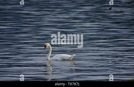 Swan on lake Lucerne Switzerland - Stock Photo