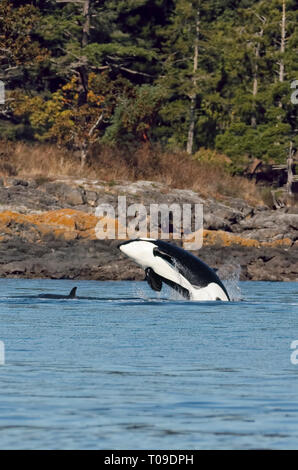 Killer Whale jumping out of water with young whale in front-Victoria, British Columbia, Canada. - Stock Photo