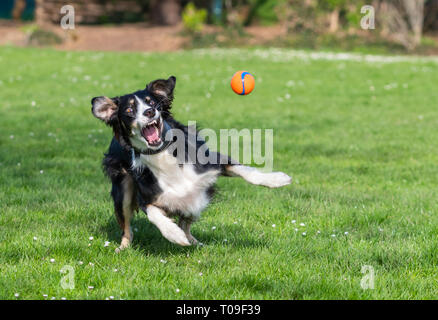 A male Saluki and Border Collie mixed breed Lurcher dog running and playing in a park with a ball in Spring in the UK. - Stock Photo