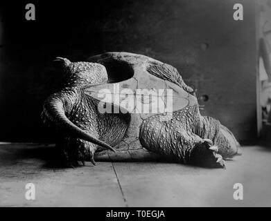 A large snapping turtle lays on its shell on the floor, ca. 1915. - Stock Photo
