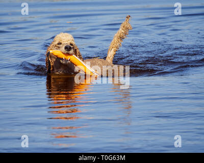 Standard poodle swimming on dog rescue service water training. Playing with an orange fetching toy in a lake  on a sunny summer day in Finland. - Stock Photo