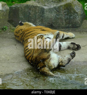 Captive Amur Tiger playing by swishing his tail in his pool of water - Stock Photo