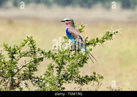 Lilac Breasted Roller On Perch - Stock Photo
