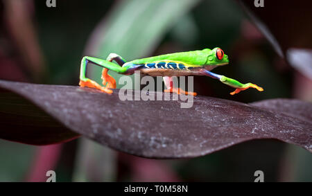 Red-eyed treefrog (Agalychnis callidryas) crawling across a large leaf. Costa Rica. - Stock Photo