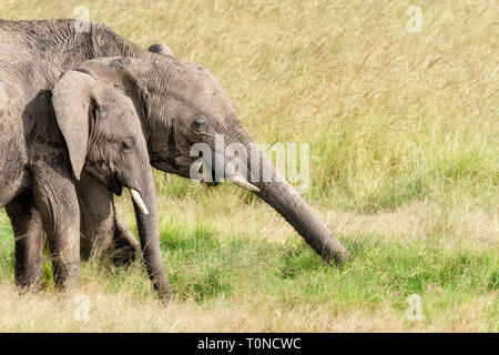 African elephants eating the lush green grass of the Masai Mara. Mother and child with space for text. - Stock Photo