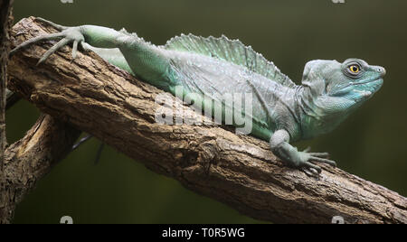Close-up view of a Plumed basilisk (Basiliscus plumifrons) - Stock Photo