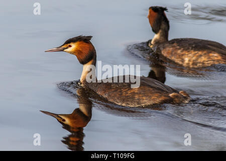 Great Crested Grebe (Podiceps cristatus) on the lake - Stock Photo