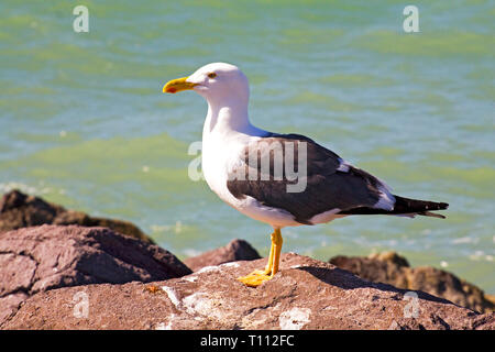 Portrait of a yellow-footed gull,  Larus livens, sunning on a rocky jetty  in the Tecolote region of Baja, Mexico, near La Paz. - Stock Photo