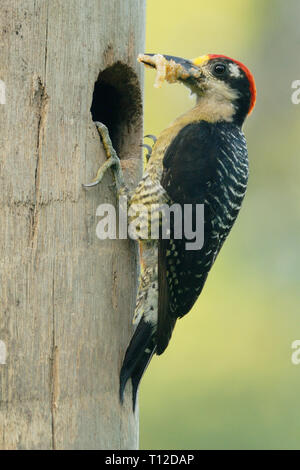Black-cheeked Woodpecker (Melanerpes pucherani). Adult male bringing food to the nest hole - Stock Photo