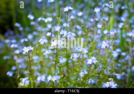 A field of alpine forget-me-not (Myosotis alpestris) flowers. - Stock Photo