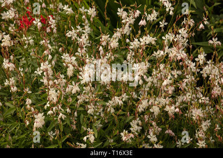 White flowers of the long flowering plants Gaura Whirling Butterflies, which are easy to grow in our gardens. - Stock Photo