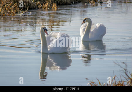 Two Swans on Pocklington Canal - Stock Photo