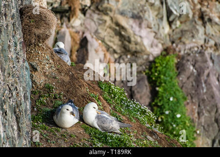 Bray Head, Ireland. 24th March, 2019 Pair of Kittiwakes enjoying warm and wind free weather on the south side cliffs of Bray Head. Credit: Vitaliy Tuzov/Alamy Live News - Stock Photo